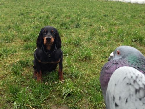 Å trene fuglehunder med belønninger